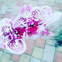 Orhidei 130-150  lei